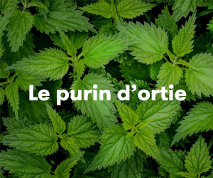 purin ortie